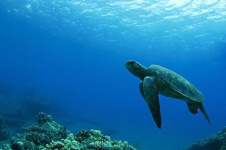 Hawaiian Dive Sites Green Sea Turtle, Maui Hawaii