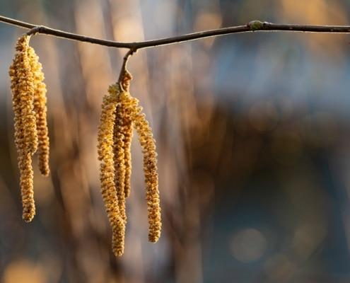 Tipps für Allergiker Erle Blüte Pollen