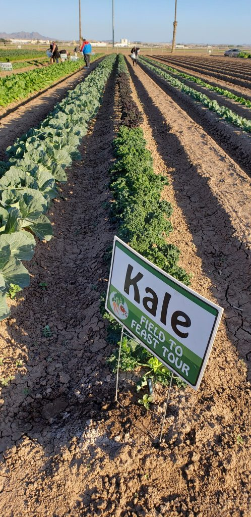 """As seen at Field to Feast Yuma: Row of greens growing in dirt field. Sign on field row says """"Kale."""""""