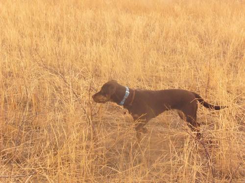Brindle Labrador Retrievers Tora and Maia Hunting