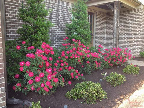 knockout roses in landscaping near house