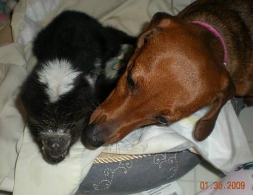 Dachshund and Baby Goat