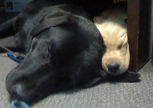 Yellow Lab Puppy with Black Lab