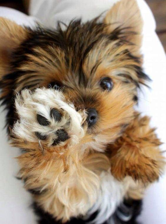 high five morkie dog