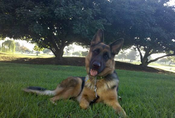 Sable the German Shepherd Dog