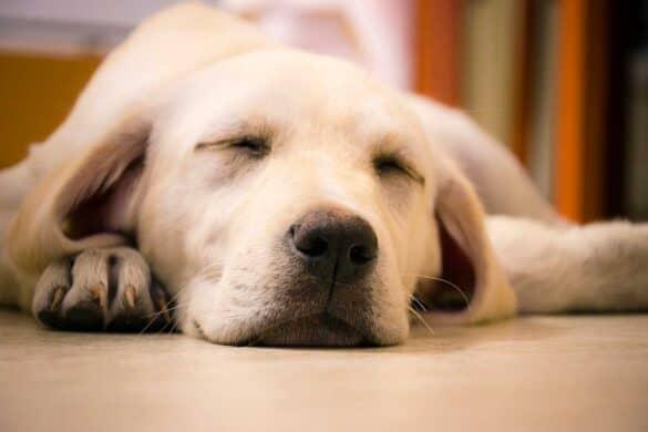 Why Do Dogs Sleep At Your Feet