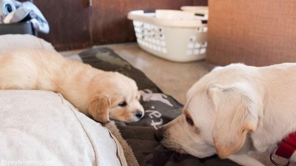 Archer vs Six week old Golden Retriever puppy