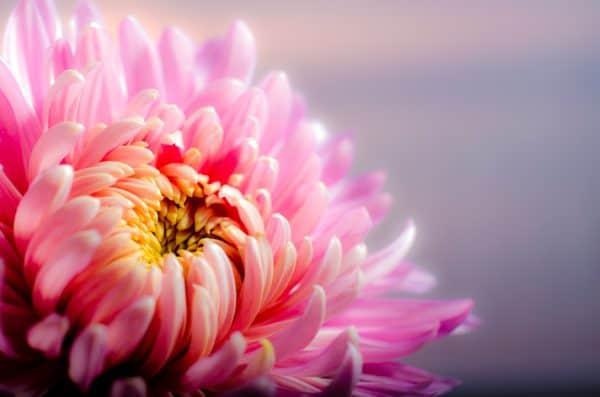 chrysanthemum, blossom, flower