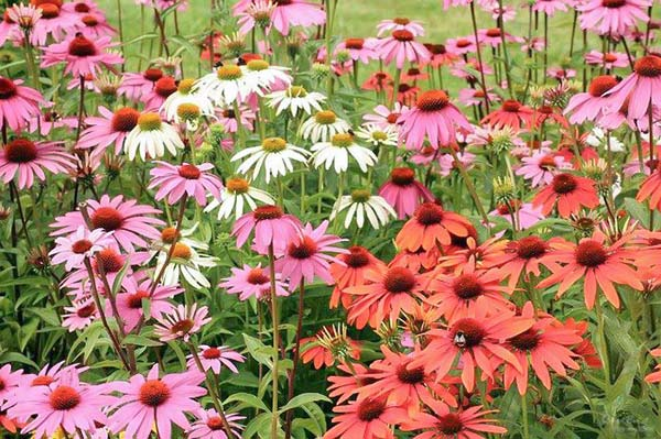 coneflowers in purple pink and white