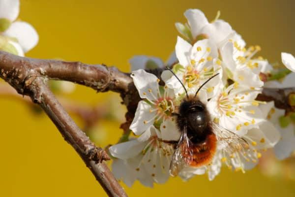 Gehörnte Mauerbiene in bienenfreundlicher Umgebung
