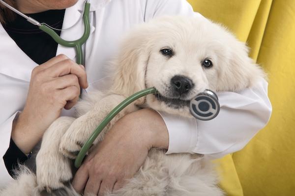 Catéteres veterinarios