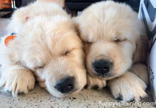 Awww...Cuddly Golden Retriever puppies!