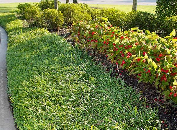 Liriope edging begonias