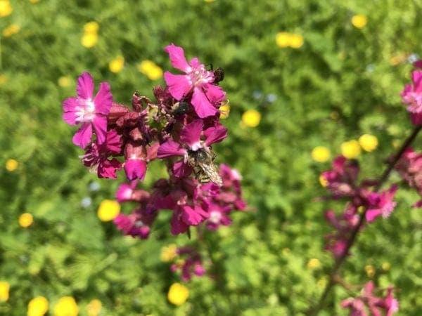 Karthäusernelke mit Mauerbiene Blühkalender