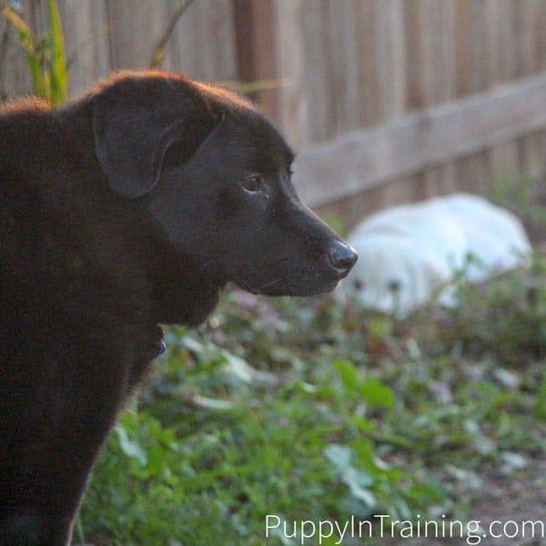 When Linus got older was diagnosed with Old Dog Canine Vestibular Disease