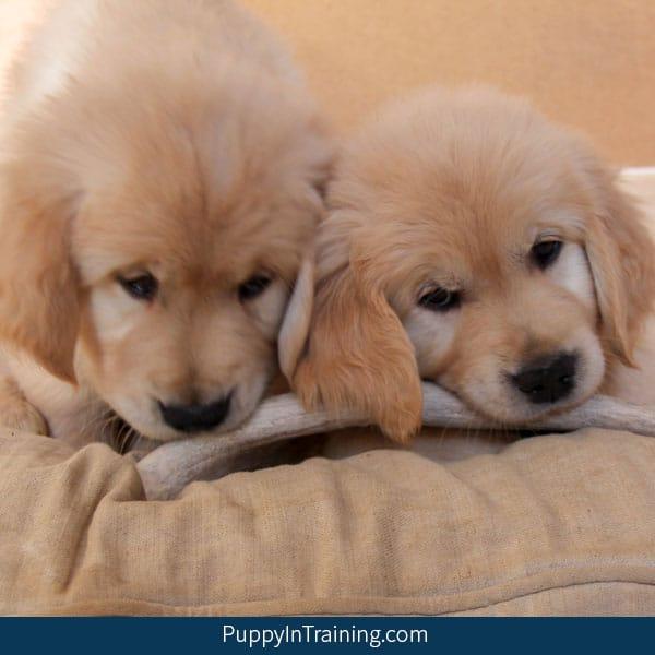 Two Pups' debating...Are Deer Antlers A Good Chew?