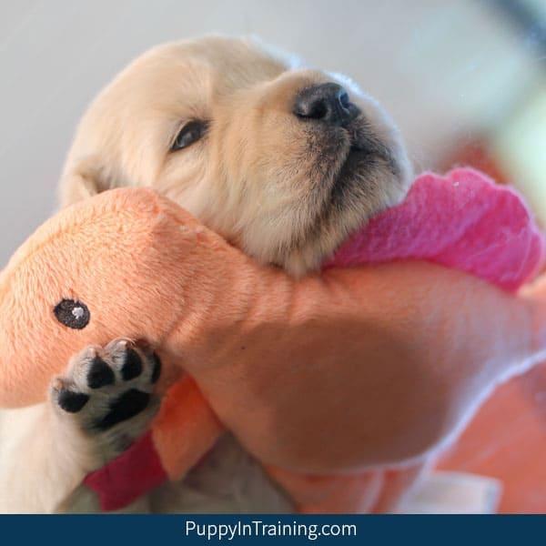 Our Litter Of Golden Retriever Pups – Week 3