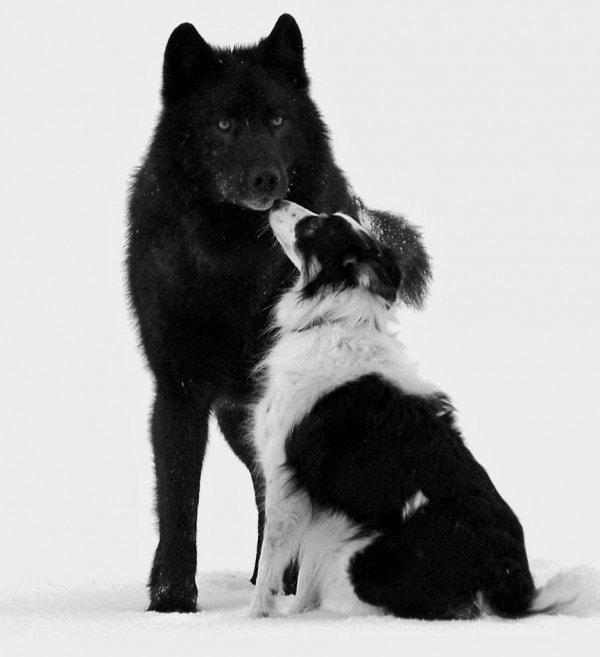 rome wolf hund kuss