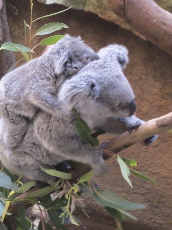 Koalas at Blackbutt Reserve