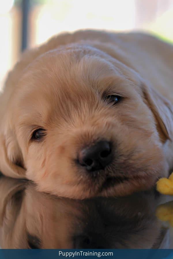 Golden Puppy Week 3