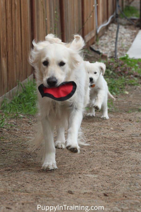 Golden Puppy Chasing Golden Mama!