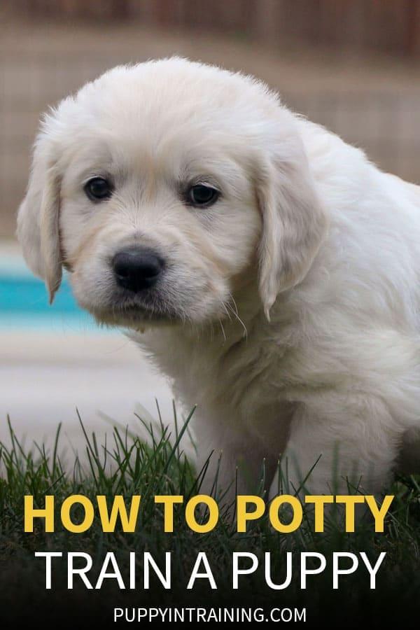How To Potty Train A Puppy - Golden Retriever puppy