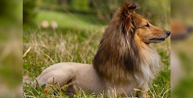 lion-like dog haircut