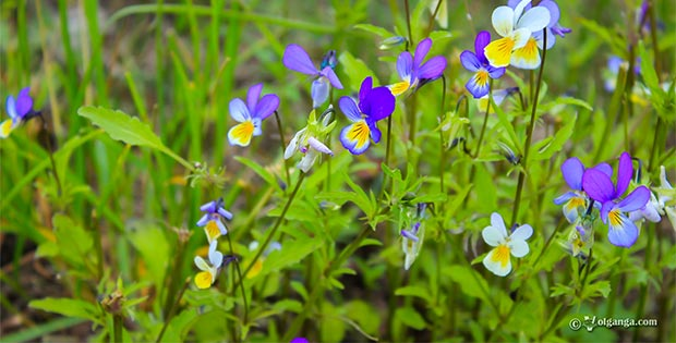 Cute wild flowers of Russia (exclusive HD wallpapers)