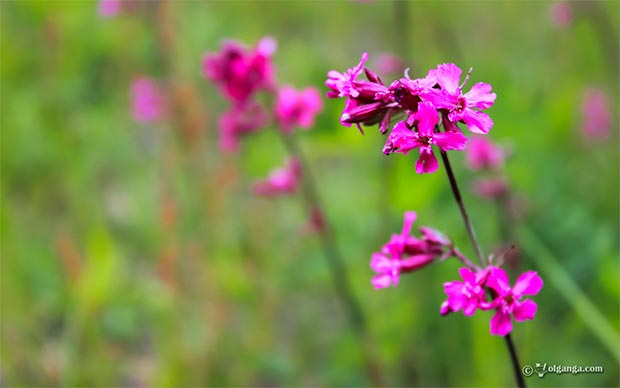 Purple field flower exclusive hd wallpaper