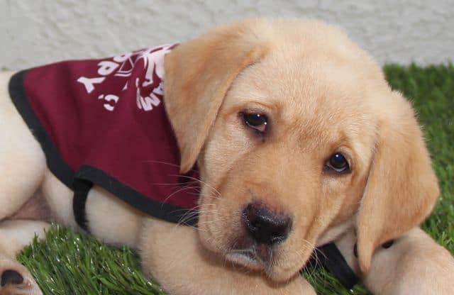 Guide Dog Puppy Raiser Vs. Service Dog Puppy Raiser