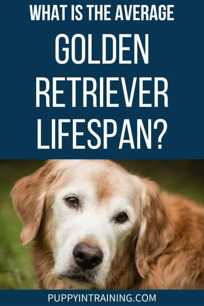 Average Golden Retriever Lifespan - Old white faced golden retriever looking back