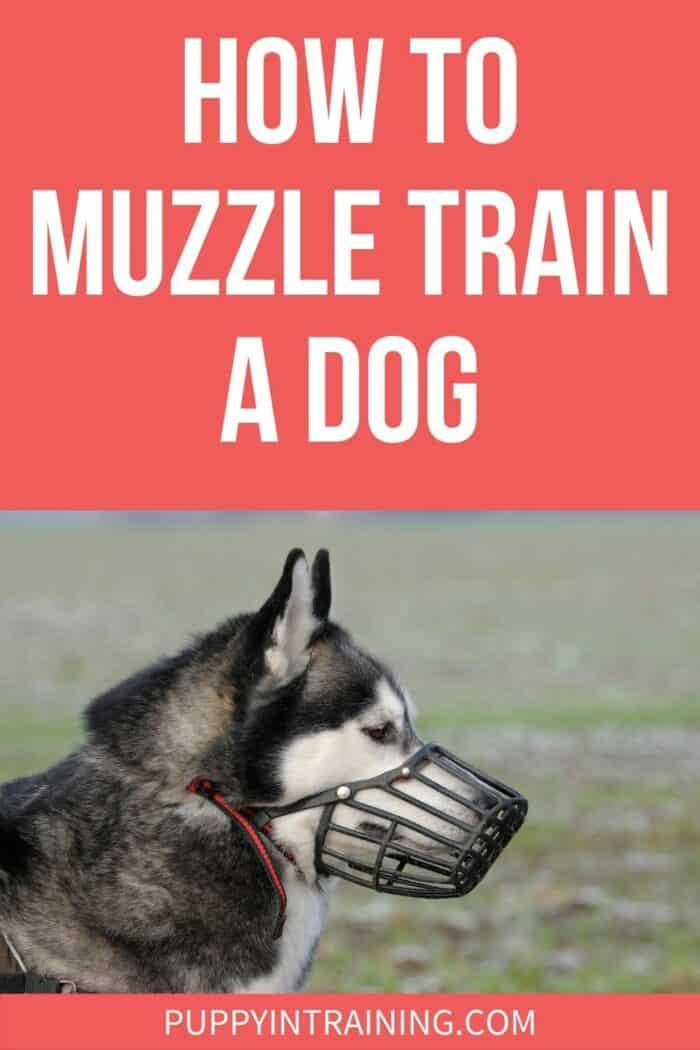 How To Muzzle Train A Dog - Husky wearing a muzzle