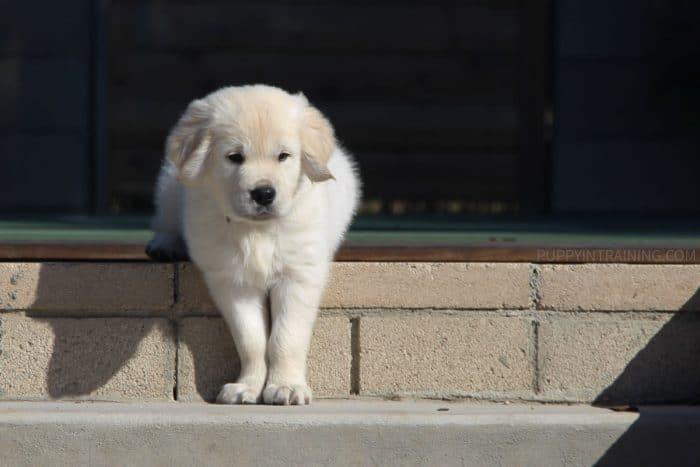 Golden Retriever puppy taking first steps down stairs.
