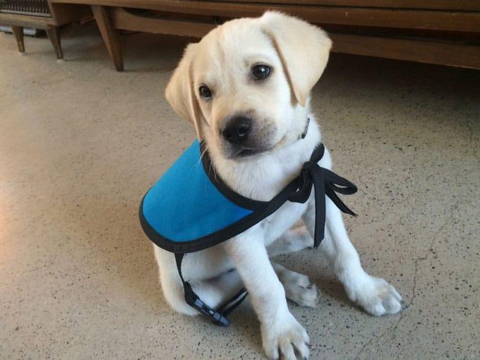 Diabetic Alert Puppy
