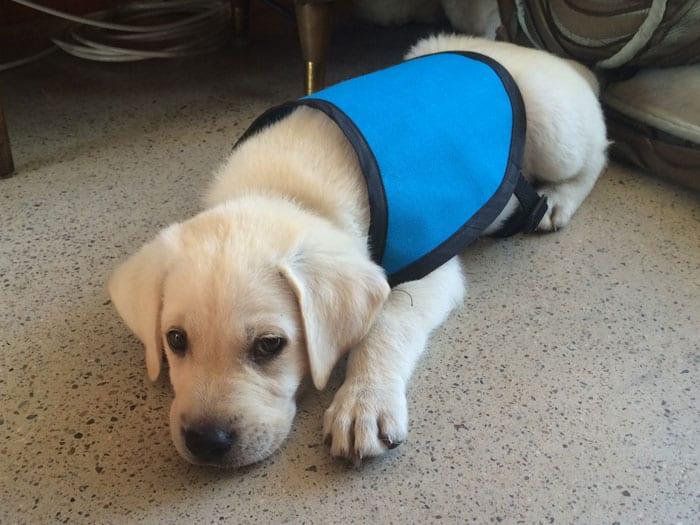Archer Service Dog Puppy In Training