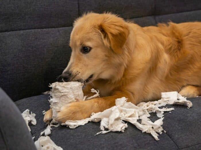Golden Retriever Chewing Paper