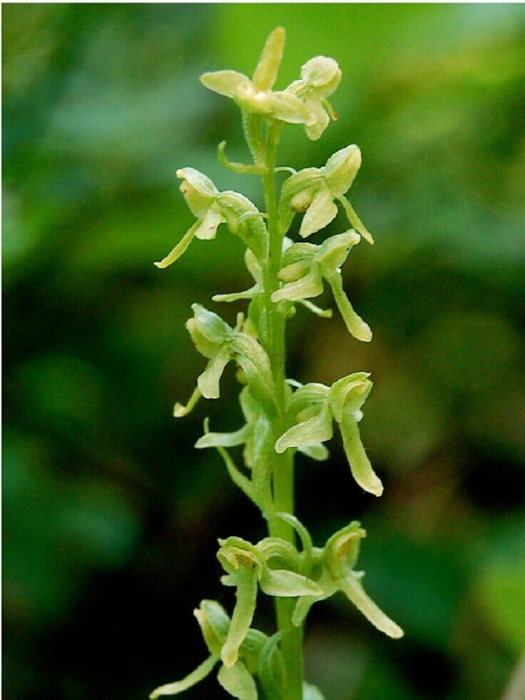 Platanthera holochila