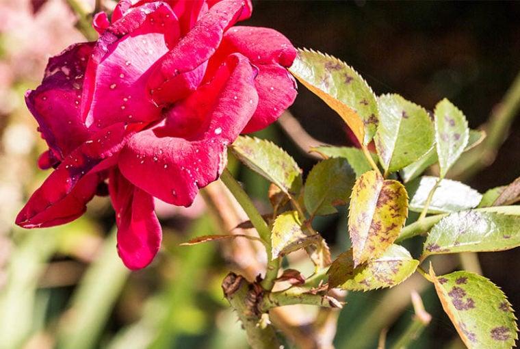 ticchiolatura rosa