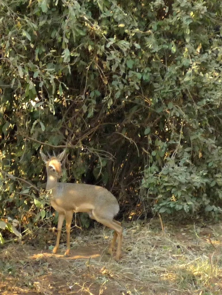 a very small rabbit-sized animal hides in the shady bush - it has horns and looks like an antelope