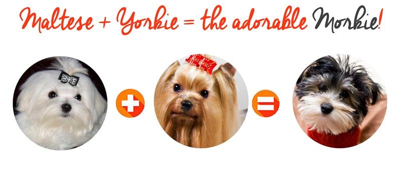yorkie plus maltese dog equals a morkie