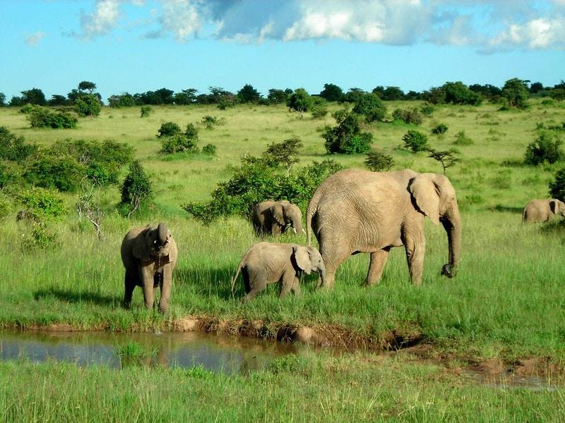 Wild elephants in Kenya