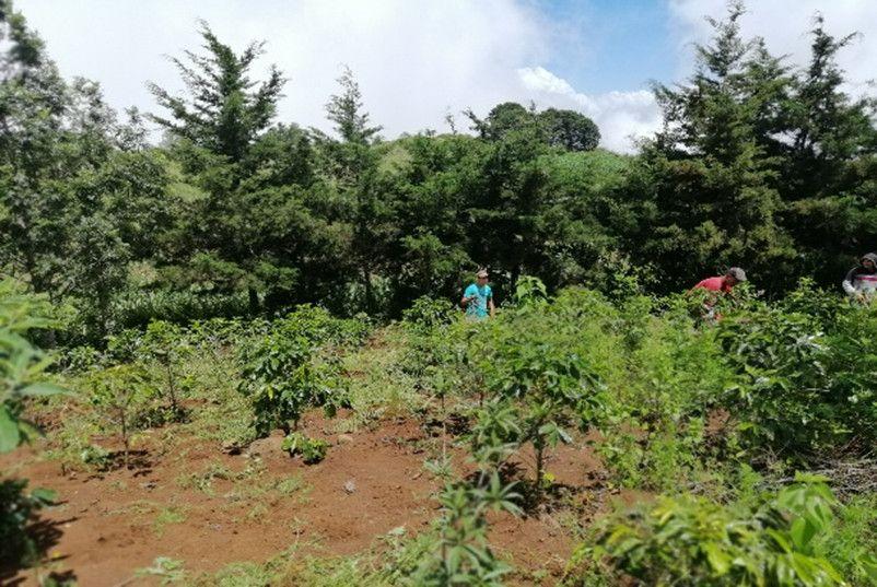 Cultivo Café Montaña de Guastatoya