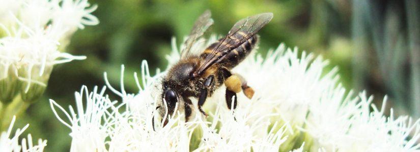 Wespensteek en homeopathische mogelijkheden