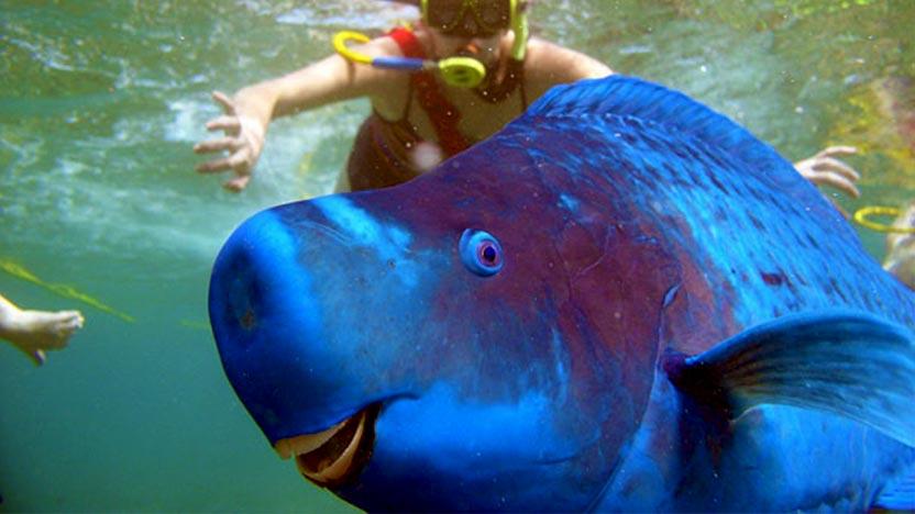 blue-parrot-fish