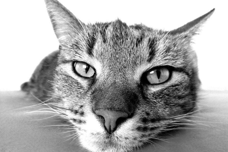 Lipidose hépatique chez le chat