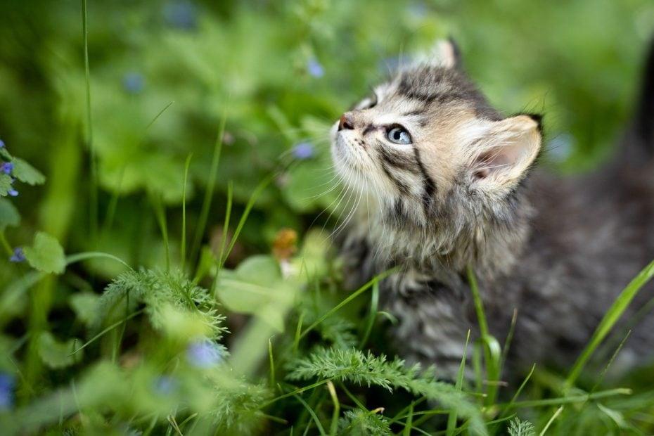 apprivoiser un chaton sauvage
