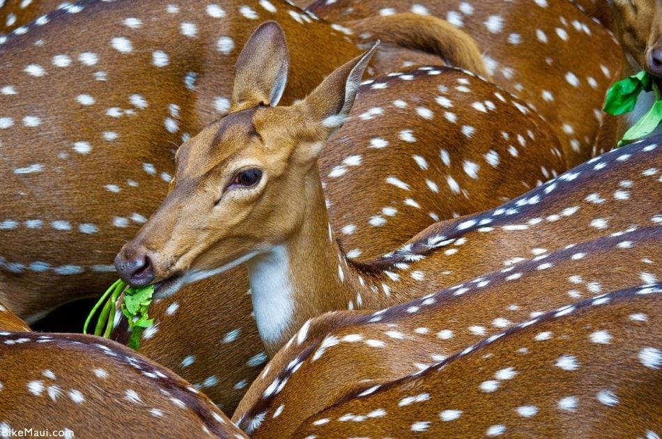 Maui deer