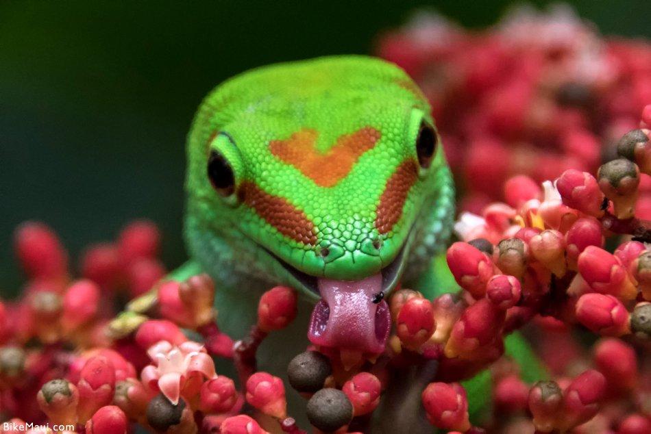 gecko tongue