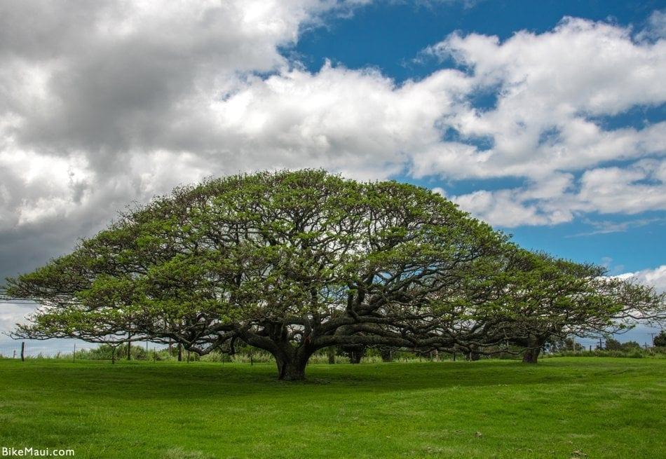 Monkeypod Maui
