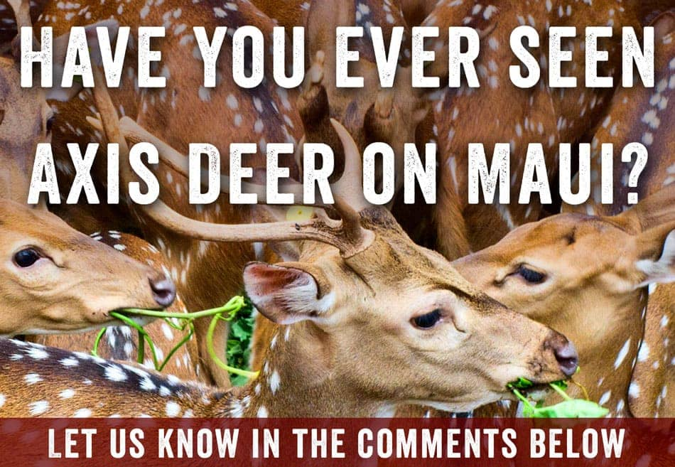 axis deer comment